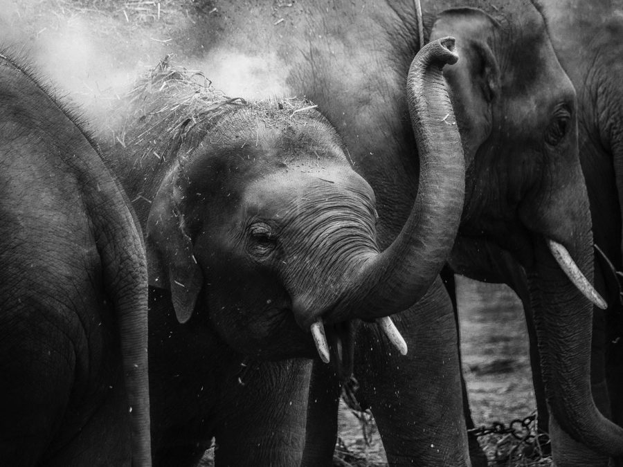 Black and white image of three elephants