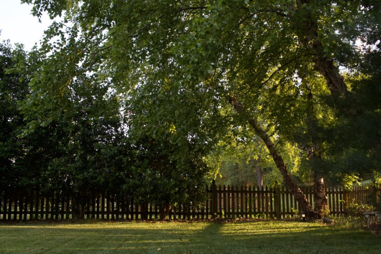 A sunlit tree in a backyard near a fence.