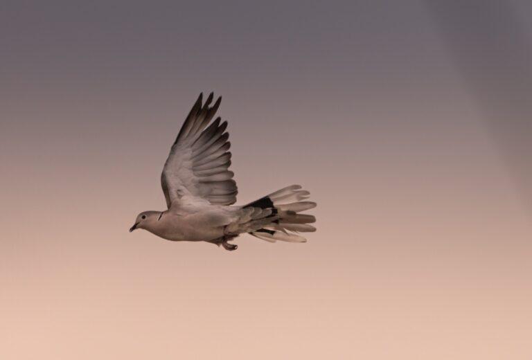 A dove flies across a morning sky.